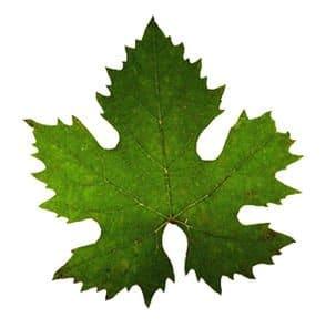 preserved grape leaves