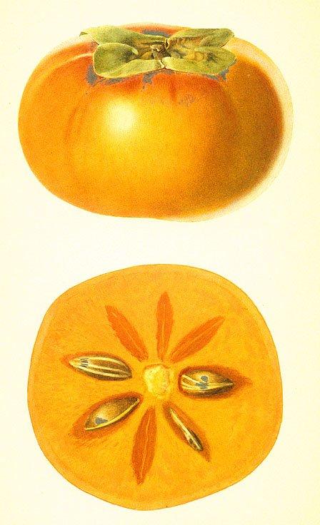 persimmon art