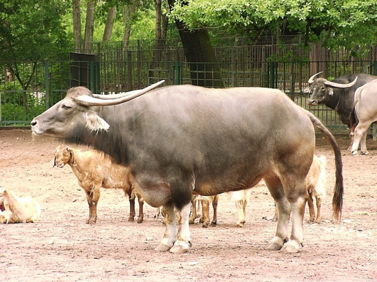 Buffalo standing among other animals
