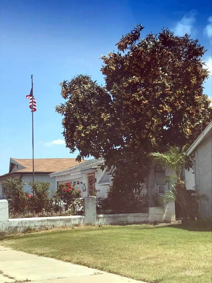 a large loquat tree