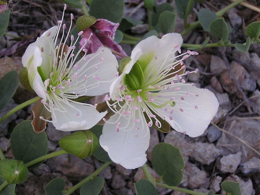 capers plant in bloom