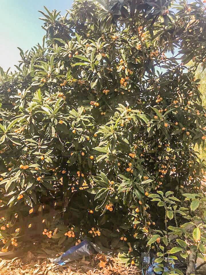 loquat tree loaded with loquats