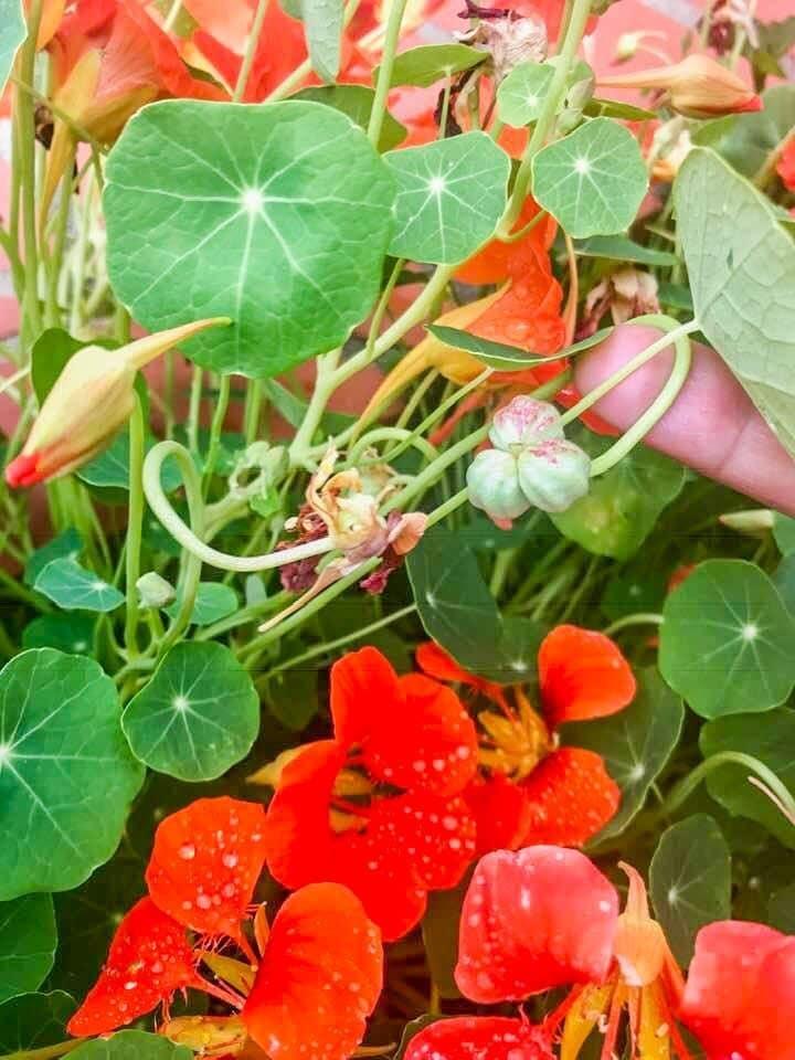 close up of a nasturtium plant