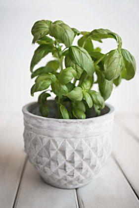 basil plant in a white pot