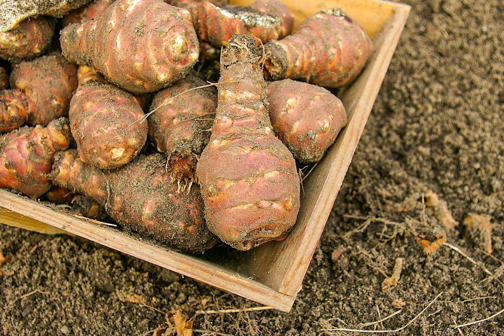 Jerusalem artichokes, harvested in a wooden box