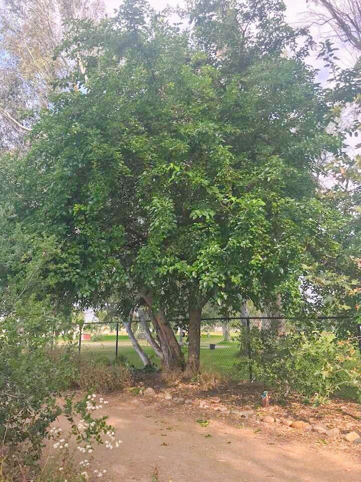 mulberry tree foraging for food
