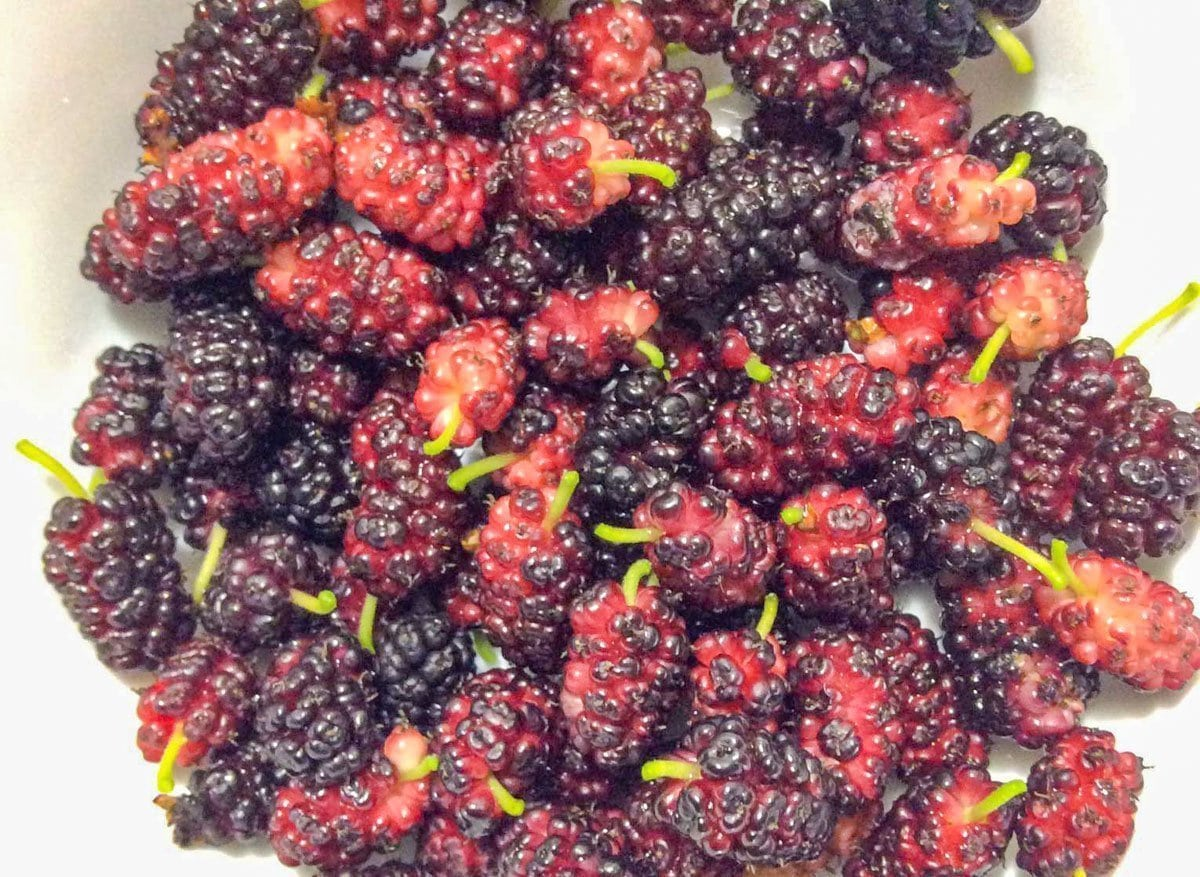 foraging for food /mulberries