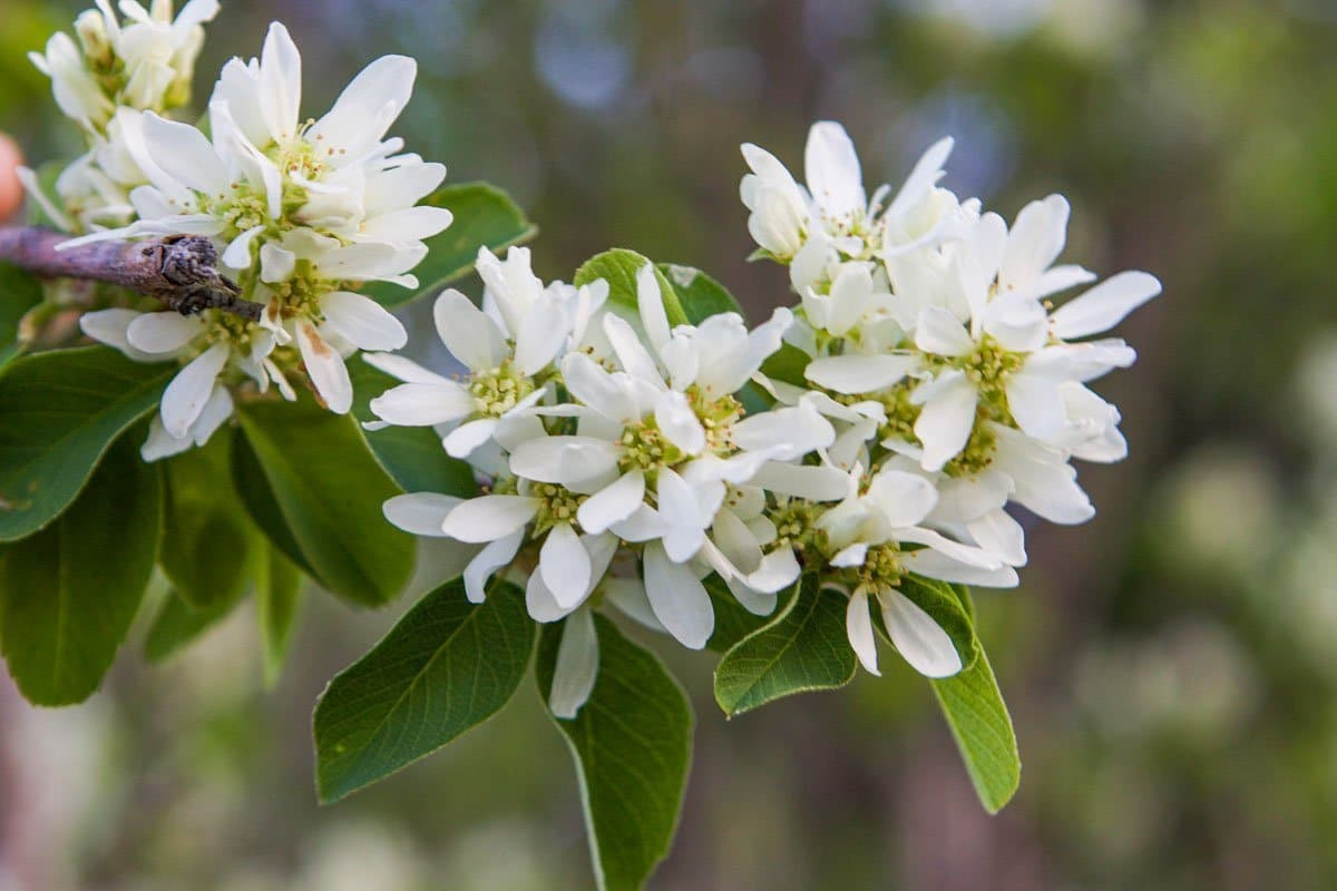serviceberry blossoms