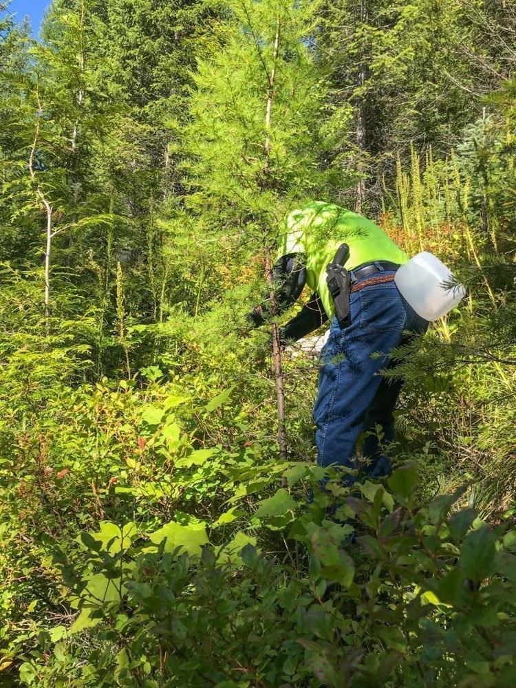 man picking huckleberries