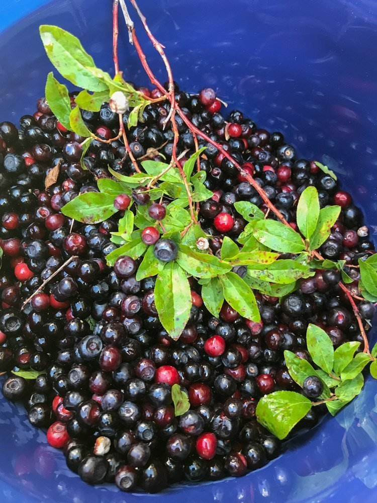 huckleberries in a blue bucket