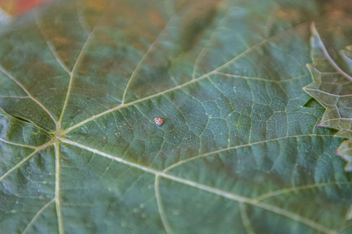 small insect on a grape leaf