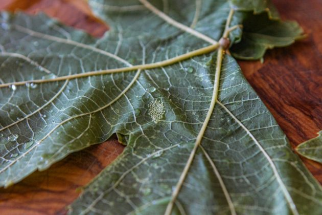 insect eggs on the back of a grape leaf