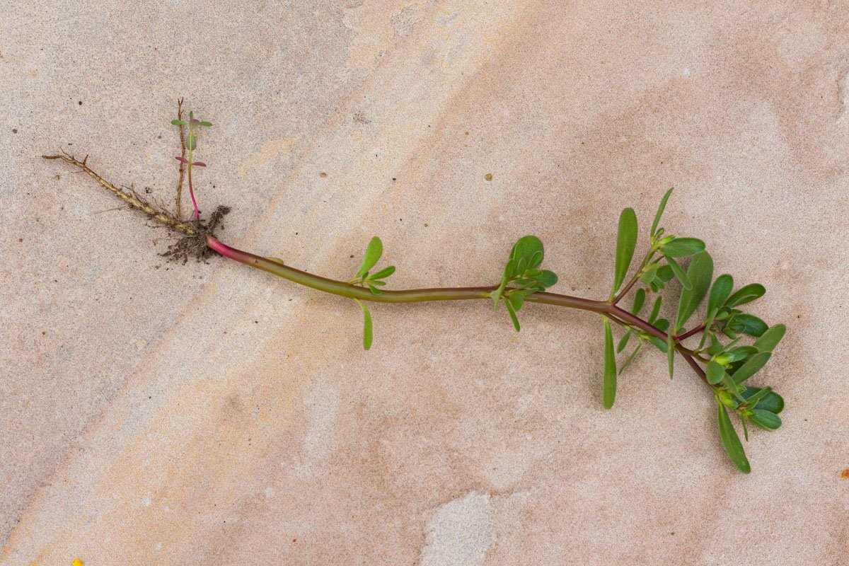 purslane plant with roots on a tile