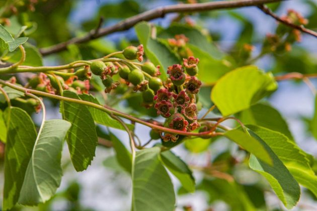 Saskatoon berries for berry jam