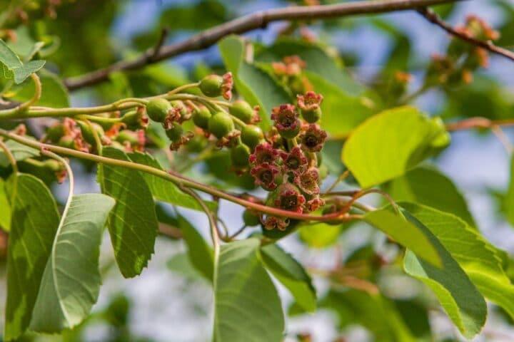 Saskatoon tree