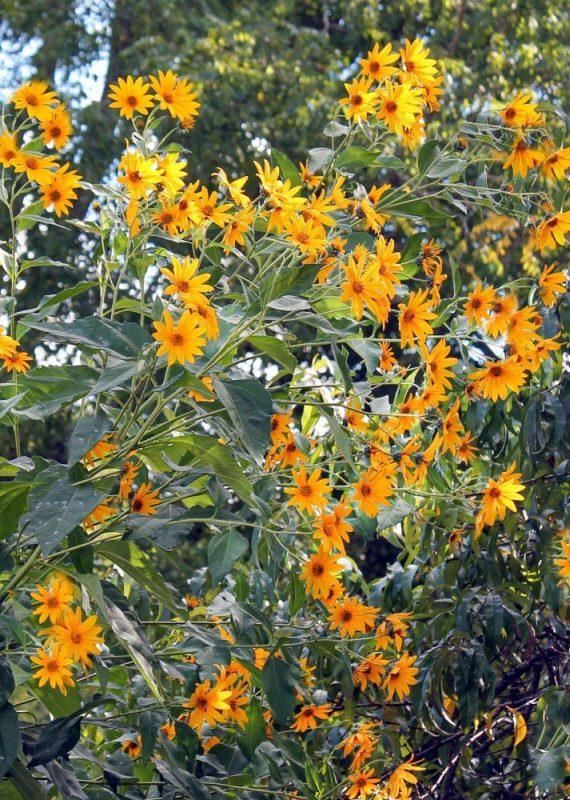 sunchoke plant