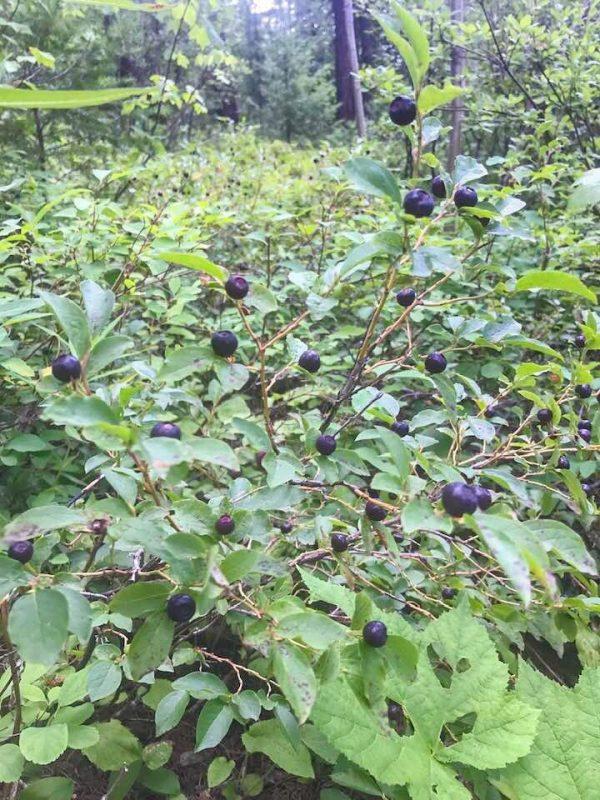 huckleberry plants