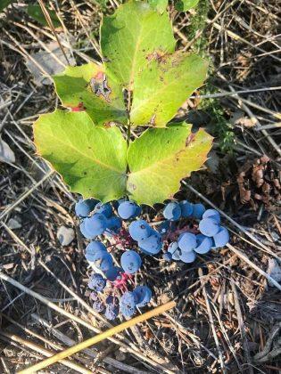 Oregon grapes holly
