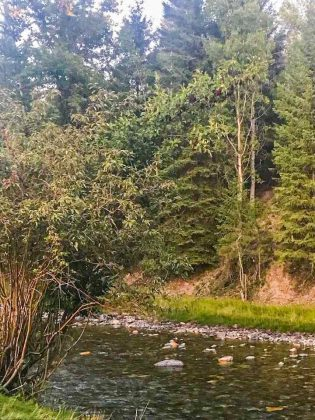 chokecherry tree next to a creek