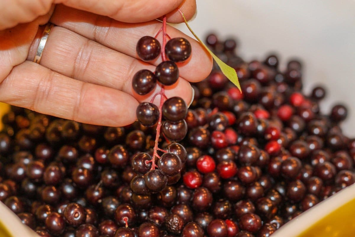 chokecherries being held over a bowl