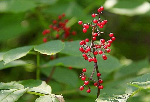 red elderberries