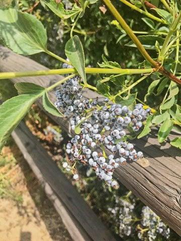 blue elderberries