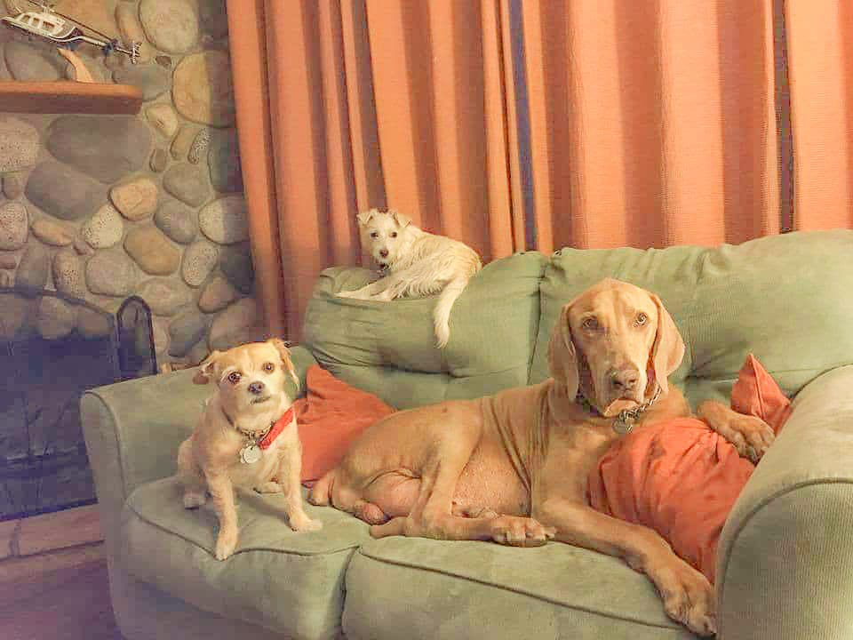 3 dogs laying on a couch