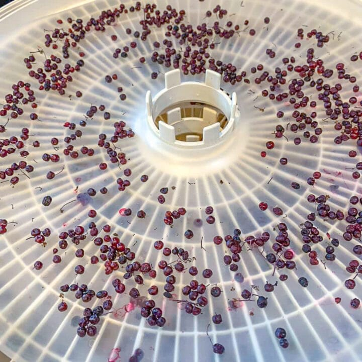elderberries drying in a dehydrator