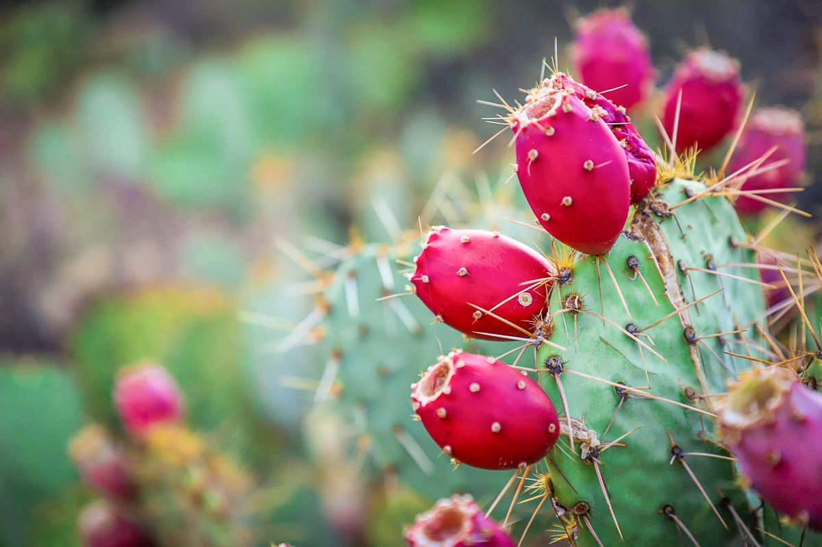 prickly pears on a cactus