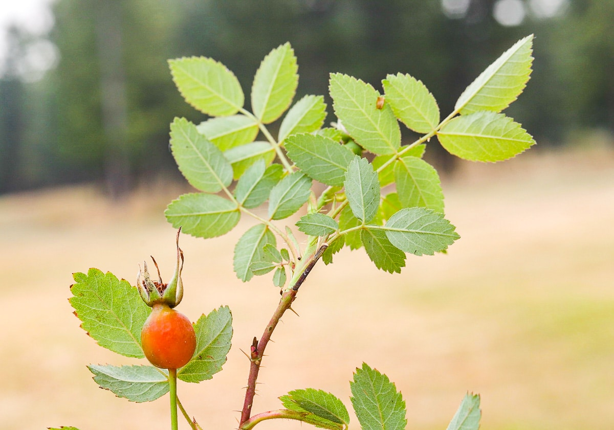 up close rose hip on a branch