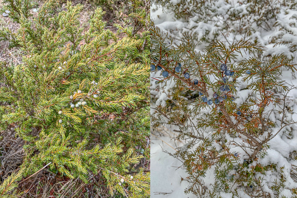 common juniper in spring and winter