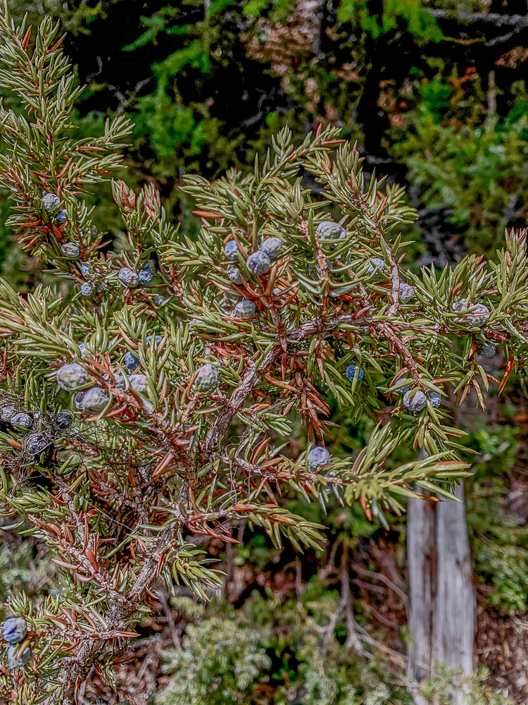 purple juniper berries on a bush