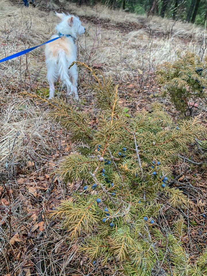 a dog on a leash next to a juniper berry bush