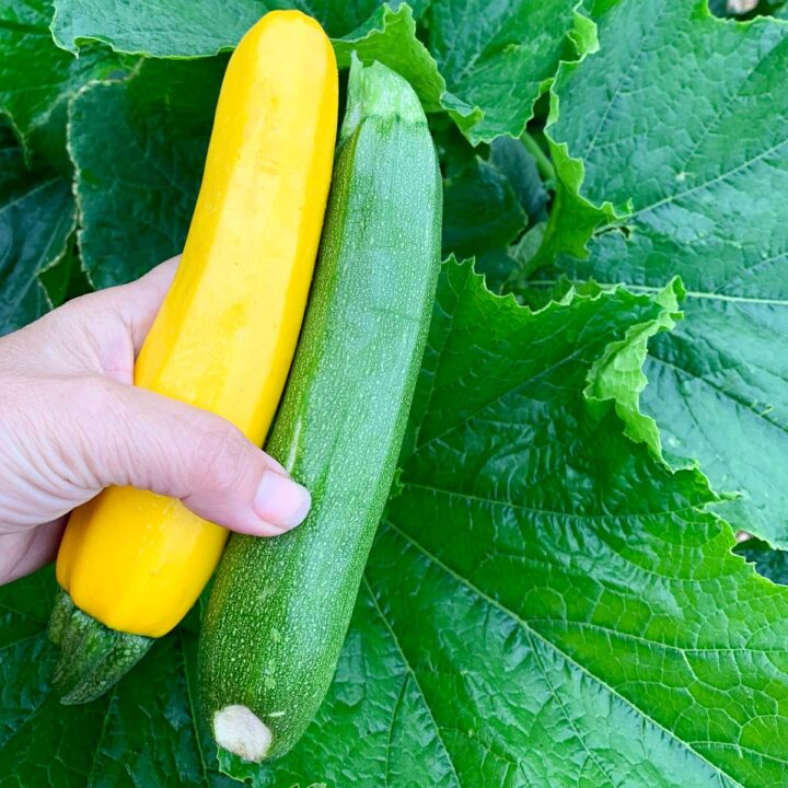 holding a yellow and green zucchini over a zucchini plant
